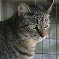 Domestic Shorthair Cat for adoption in North Fort Myers, Florida - Boa