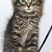 Adopt A Pet :: Little Jerry Seinfeld - Davis, CA