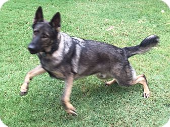 German Shepherd Dog Dog for adoption in Phoenix, Arizona - WORKING LINES GSD. Blue