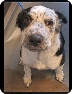 Border Collie Mix Puppy for adoption in Red Bluff, California - RASHJA