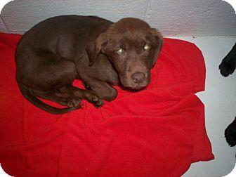 Labrador Retriever Mix Puppy for adoption in Newburgh, Indiana - Vegas please help