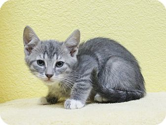 Domestic Shorthair Kitten for adoption in Benbrook, Texas - Trey