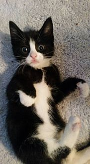 Domestic Shorthair Kitten for adoption in Ocala, Florida - Juniper