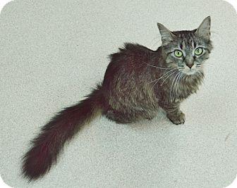 Maine Coon Cat for adoption in Evansville, Indiana - Shangri La