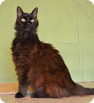 Domestic Longhair Cat for adoption in Larned, Kansas - Radiance