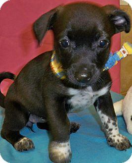 Dachshund/Terrier (Unknown Type, Small) Mix Puppy for adoption in Poteau, Oklahoma - SASHA
