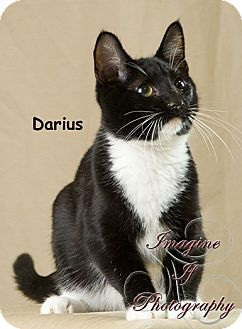 Domestic Shorthair Cat for adoption in Oklahoma City, Oklahoma - Darius