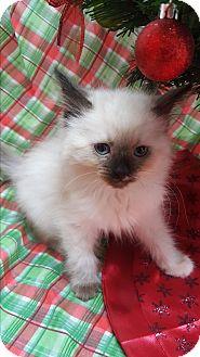Siamese Kitten for adoption in yuba city, California - milan