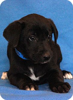 Labrador Retriever Mix Puppy for adoption in Waldorf, Maryland - A.J.