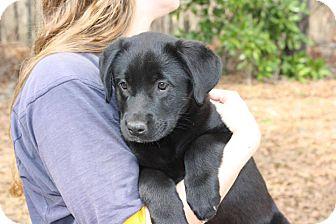 Labrador Retriever Mix Puppy for adoption in Allentown, New Jersey - Maddie