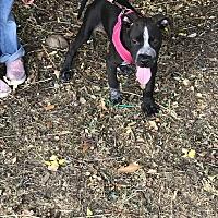 Adopt A Pet :: Maisy - East Hartford, CT