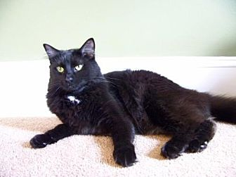 Maine Coon Cat for adoption in Devon, Pennsylvania - LM-Mitzie
