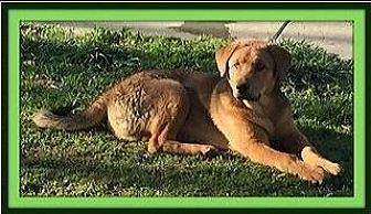 Anatolian Shepherd/Australian Shepherd Mix Puppy for adoption in Rancho Cucamonga, California - Buster