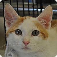 Domestic Shorthair Kitten for adoption in Atlanta, Georgia - George