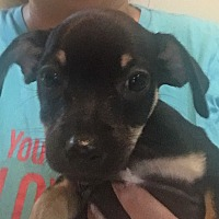 Adopt A Pet :: Shiloh - Milwaukee, WI