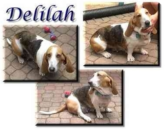 Basset Hound Dog for adoption in Marietta, Georgia - Delilah