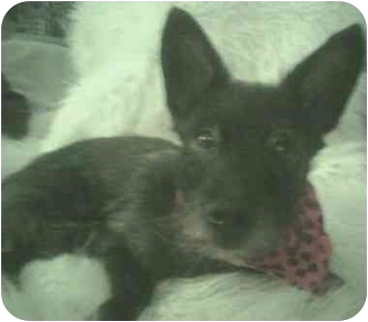 Scottie, Scottish Terrier Mix Dog for adoption in Loudonville, New York - Angus