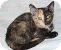 Calico Kitten for adoption in Tampa, Florida - Sunny