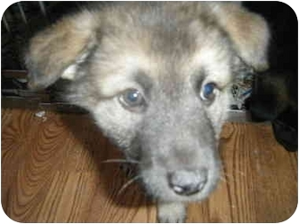 Shepherd (Unknown Type) Mix Puppy for adoption in Port Jefferson Station, New York - Shepherd mix puppies