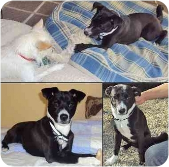 Border Collie Mix Dog for adoption in San Pedro, California - ALEX (Courtesy List)