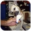 Photo 1 - Rat Terrier Mix Dog for adoption in BLACKWELL, Oklahoma - Suzie