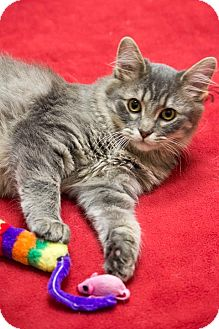 Domestic Mediumhair Cat for adoption in Chicago, Illinois - Kiwi