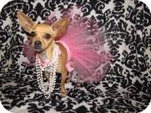 Chihuahua Mix Dog for adoption in Marietta, Georgia - Piper