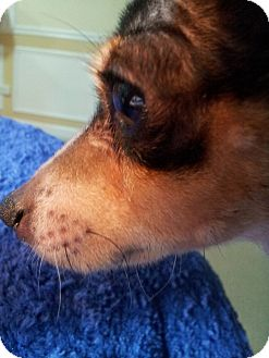Chihuahua/Rat Terrier Mix Dog for adoption in Romeoville, Illinois - *ADOPTED* Joey