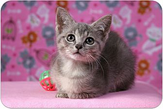 Domestic Shorthair Kitten for adoption in Sterling Heights, Michigan - Tiana - ADOPTED!