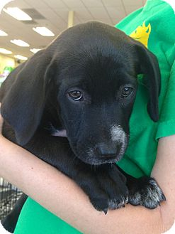 Labrador Retriever/Australian Cattle Dog Mix Puppy for adoption in Phoenix, Arizona - Ruby
