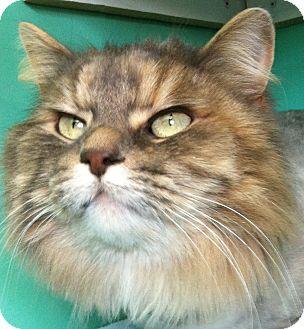 Domestic Longhair Cat for adoption in Port Hope, Ontario - Smokey