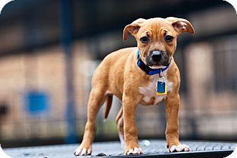 Bullmastiff/Pit Bull Terrier Mix Dog for adoption in Houston, Texas - Chip