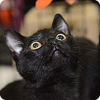 Adopt A Pet :: Kibble - Harrisburg, NC