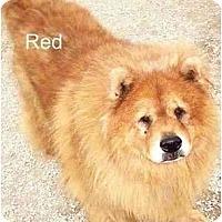 Adopt A Pet :: Red - Miami Beach, FL