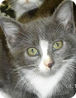 Domestic Mediumhair Kitten for adoption in Lincolnton, North Carolina - Joel