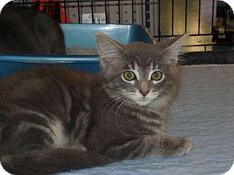 Domestic Mediumhair Kitten for adoption in Whiting, Indiana - Sugar Plum