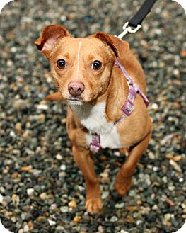 Chihuahua/Miniature Pinscher Mix Dog for adoption in Bellingham, Washington - Diego