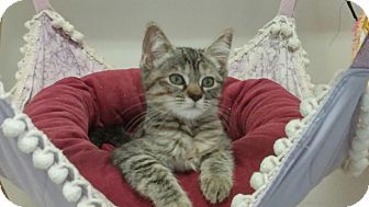 Domestic Shorthair Cat for adoption in Calimesa, California - Little Debbie