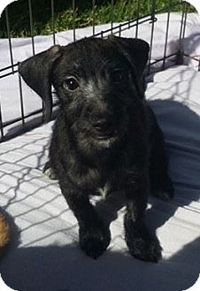 Airedale Terrier/Labrador Retriever Mix Puppy for adoption in Inland Empire, California - DEAGEN
