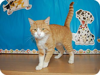 Domestic Shorthair Cat for adoption in North Judson, Indiana - Mr. Bombastic