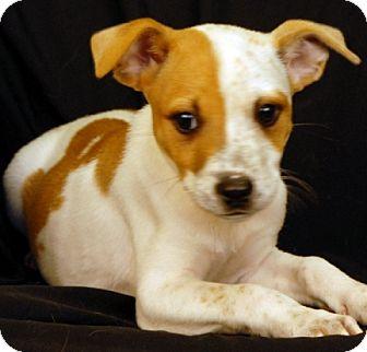 Terrier (Unknown Type, Medium) Mix Puppy for adoption in Newland, North Carolina - Effie