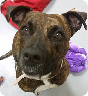 Pit Bull Terrier Mix Dog for adoption in Adrian, Michigan - Baylee