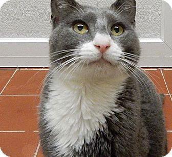 Domestic Shorthair Cat for adoption in Long Beach, New York - Alfredo