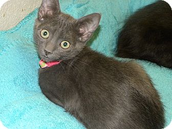 Russian Blue Kitten for adoption in Fort Collins, Colorado - BROOK