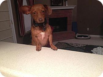 Dachshund Dog for adoption in HARRISBURG, Pennsylvania - GINGER