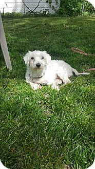 Maltese Dog for adoption in Battle Creek, Michigan - Victor