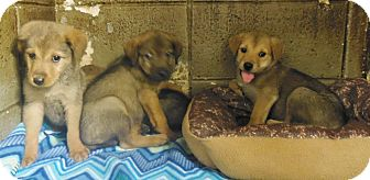 Shepherd (Unknown Type) Mix Puppy for adoption in Henderson, North Carolina - Booth Pups (7)