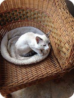 Siamese Kitten for adoption in Bulverde, Texas - Luke