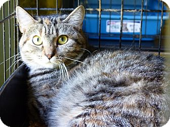 Domestic Shorthair Cat for adoption in Marlinton, West Virginia - Mary