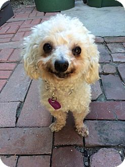 Maltese/Poodle (Miniature) Mix Dog for adoption in Los Angeles, California - Dora - I do not shed!